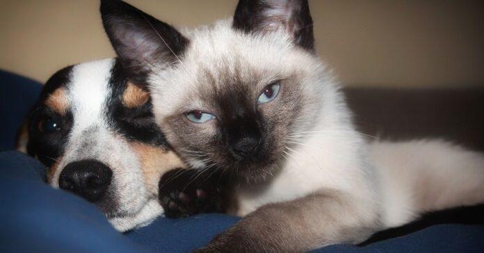 amicizia tra il gattino siamese e il labradoodle