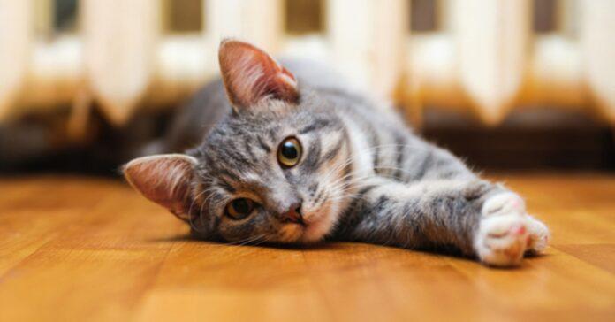 attenzione questa manovra fondamentale sopravvivere tuo gatto