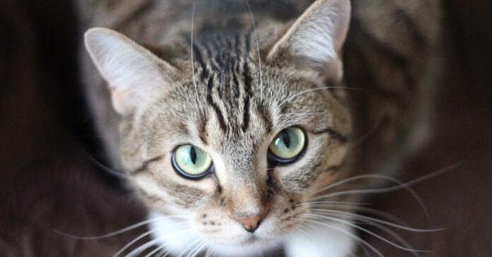 gatto sguardo capire