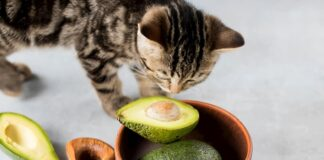 gatto annusa un avocado
