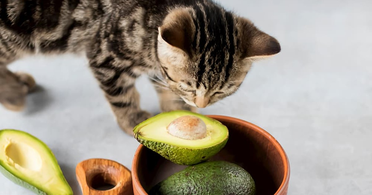 gatto annusa un avocado