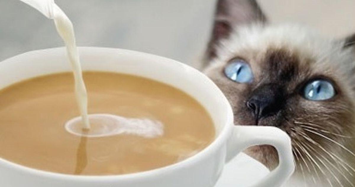 gatto con gli occhi celesti che vuole assaggiare il caffè