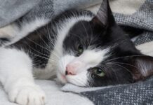 gatto malato di bordetella