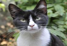 gatto bianco e nero
