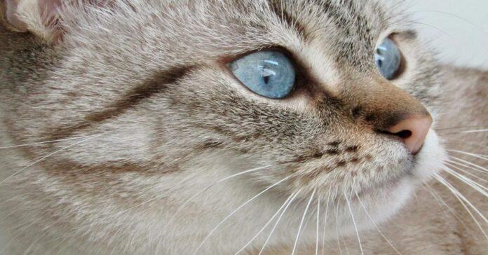 gatto grigio occhi azzurri
