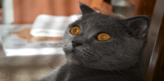 gatto occhi arancioni