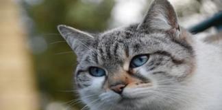 gatto grigio europeo