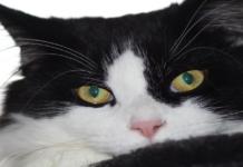gatto bianco e nero primo piano