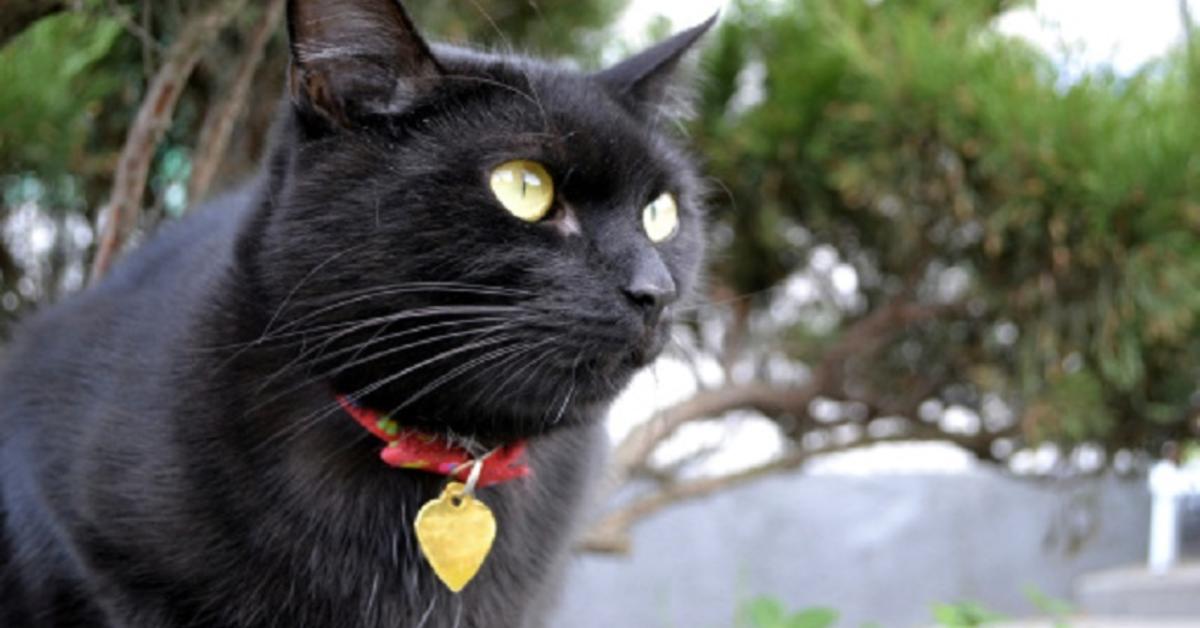gatto nero con collare