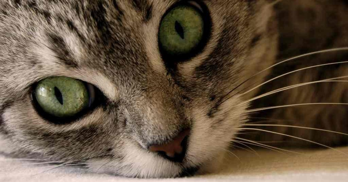 gattino con gli occhi verdi