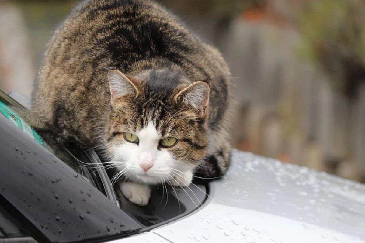 gatto su macchina