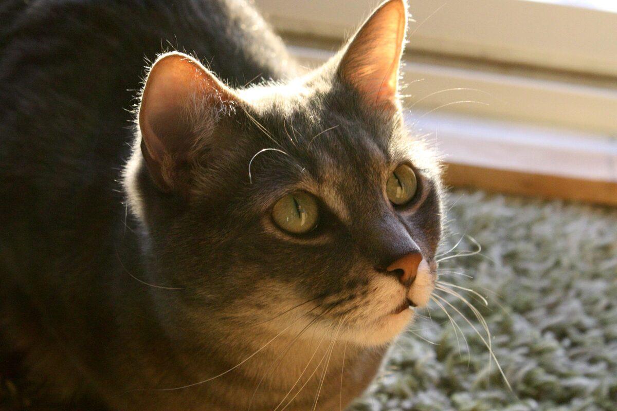 gatto che guarda il sole