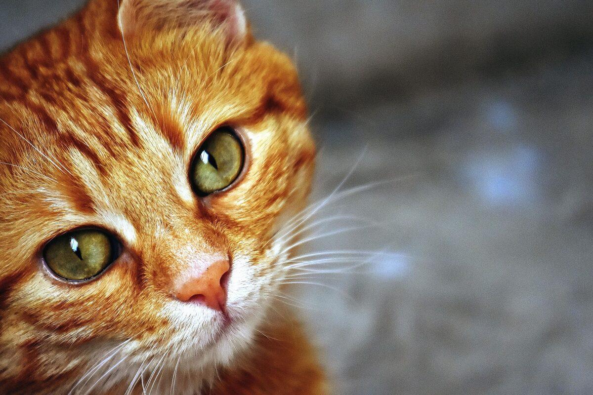 gatto che guarda in camera