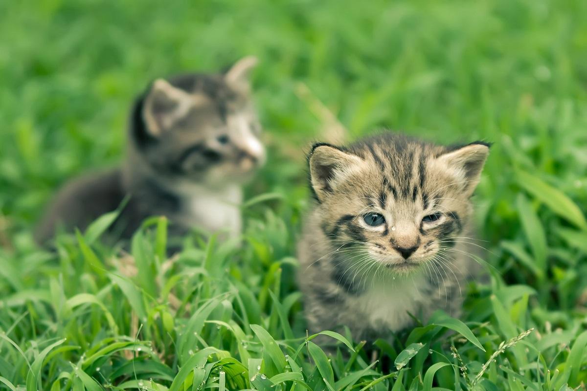 cuccioli di gatto di poche settimane