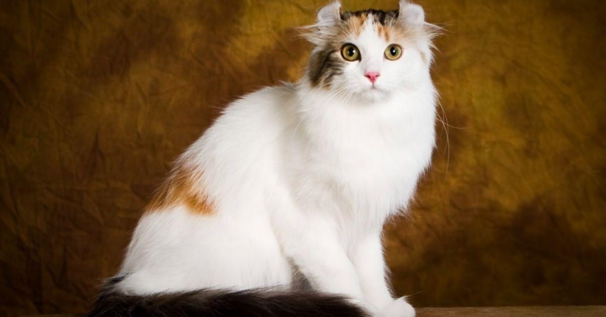 gatto razza american curl