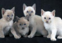 cucciolata di gattini tonchinesi