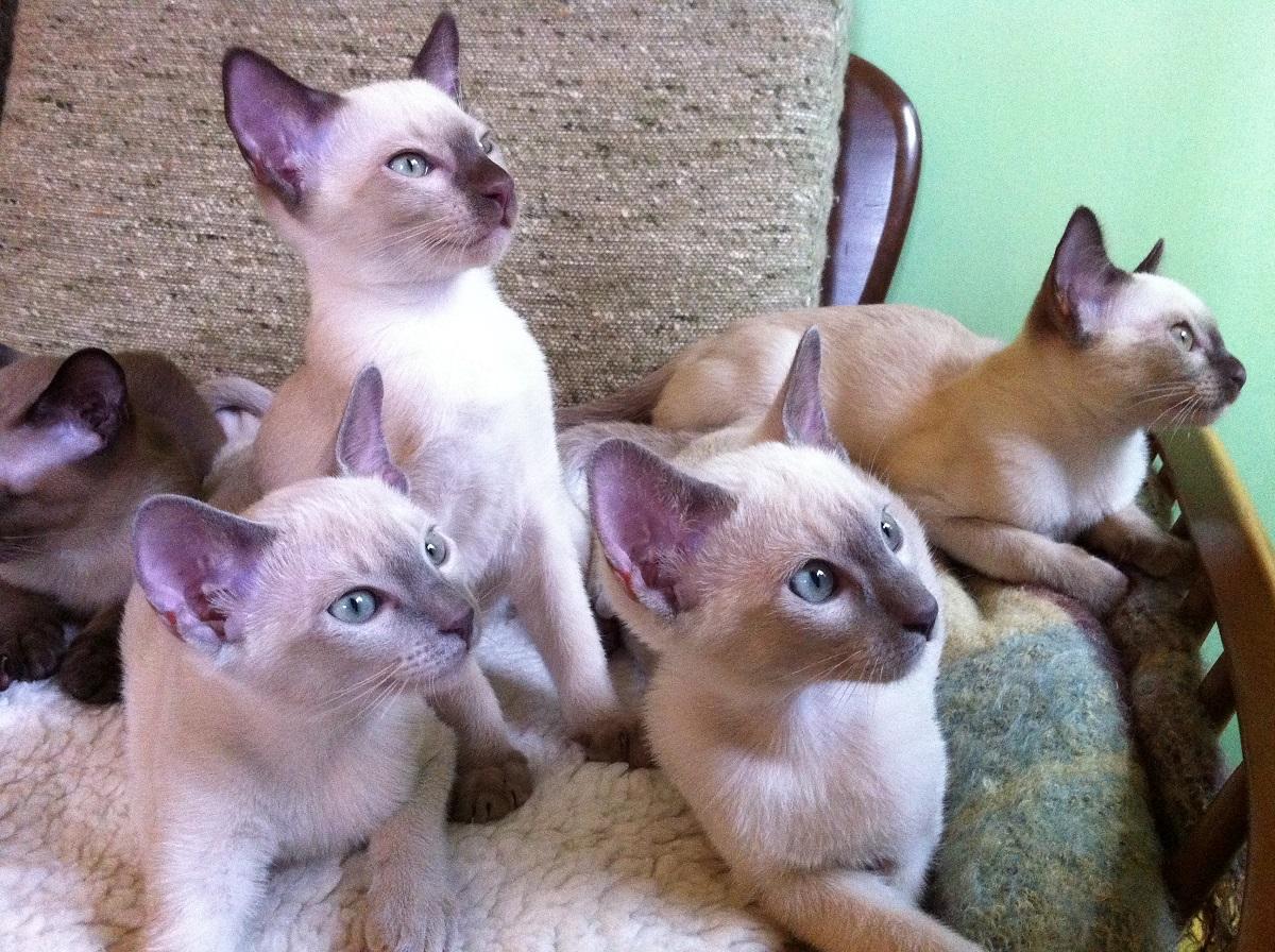 quattro cuccioli di tonchinese