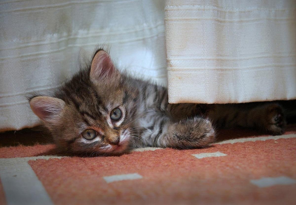 cucciolo di toyger si nasconde
