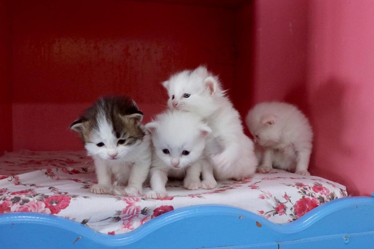 quattro cuccioli di turco van
