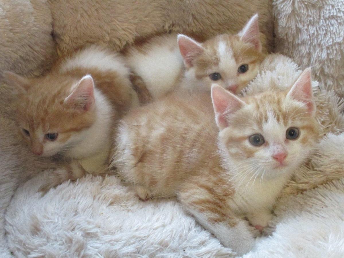 tre cuccioli di turco van