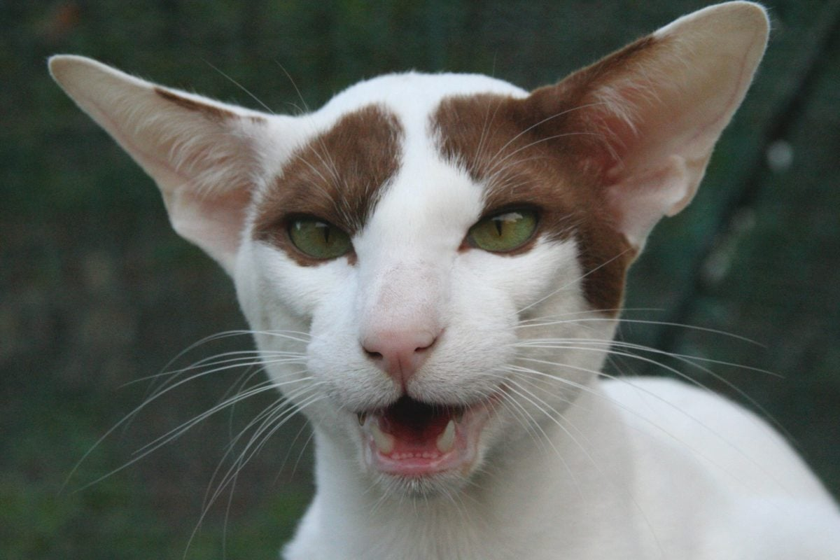 gatto che miagola