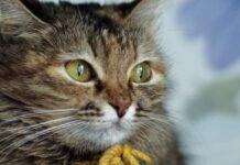 gatto con il muso buffo