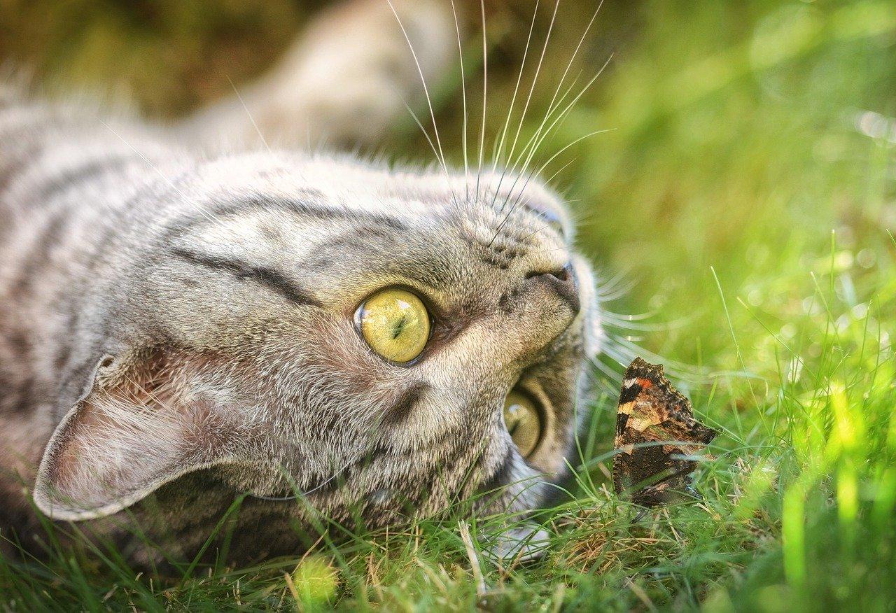 gatto gioca con farfalla