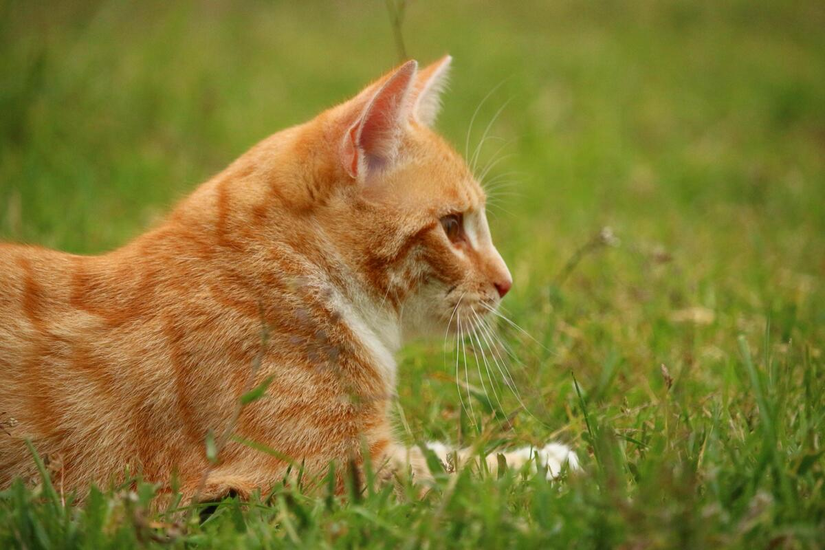 gatto arancione in mezzo all'erba