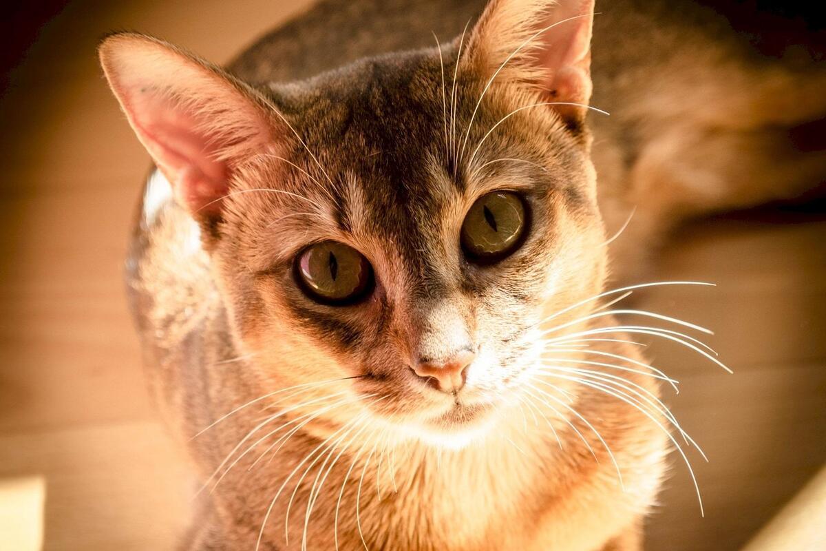 gatto che guarda l'obiettivo