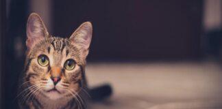 gatto sul pavimento che osserva