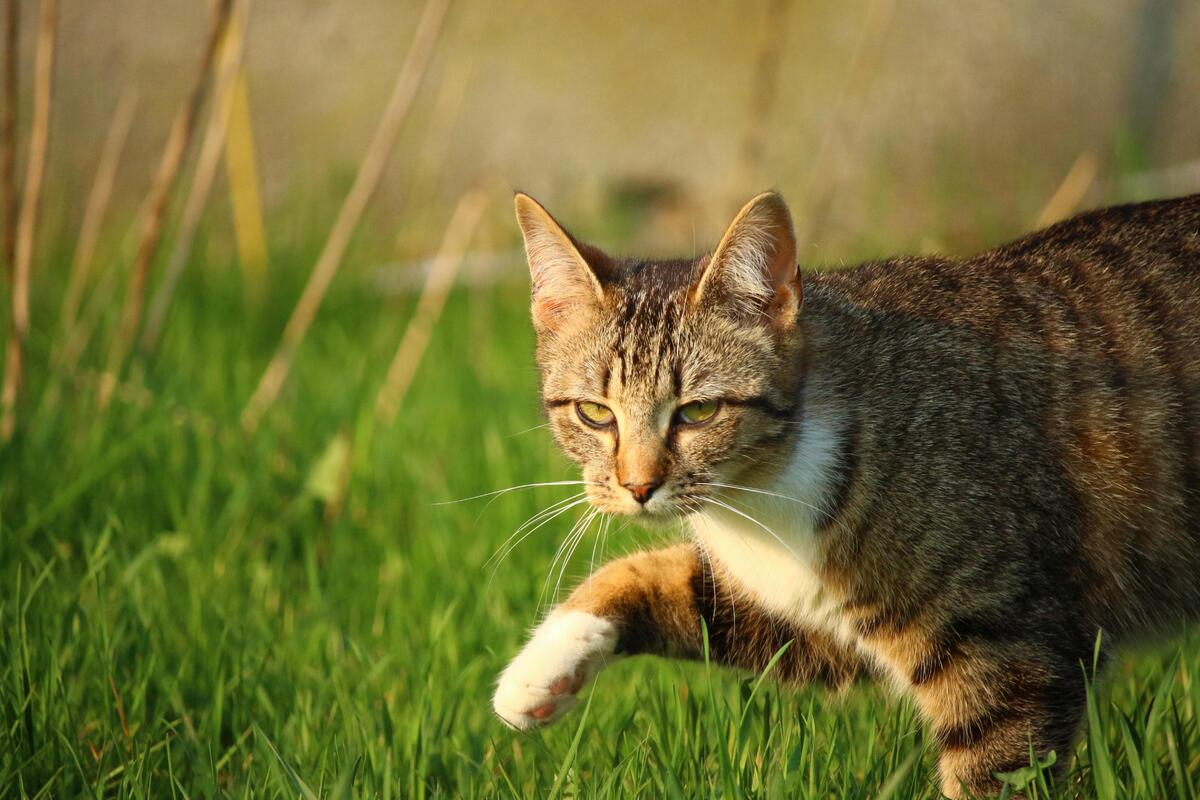 gatto che cammina sul prato