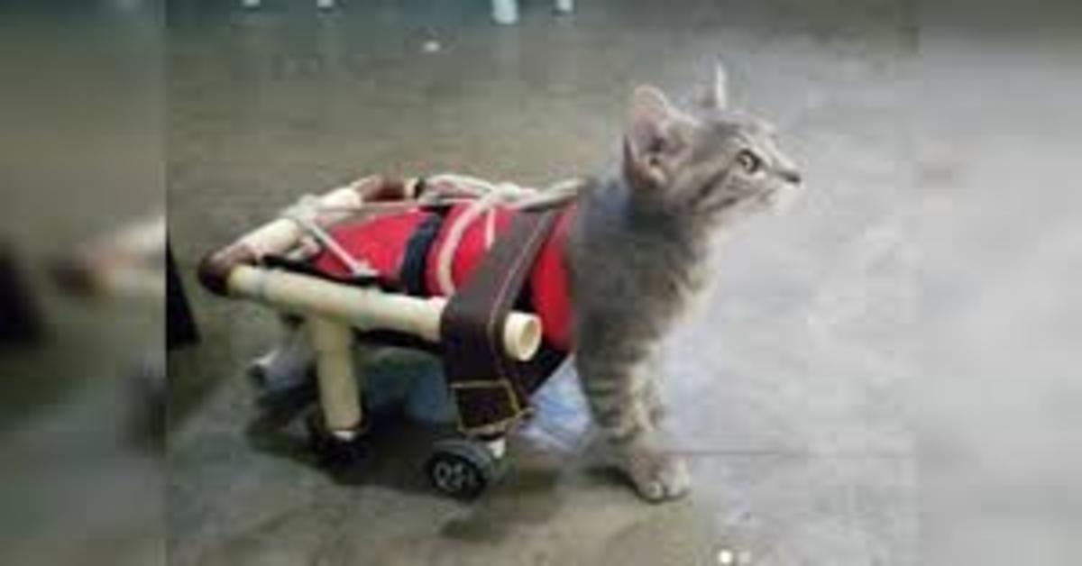 Minnie gatta disabile cammina con sedia a rotelle
