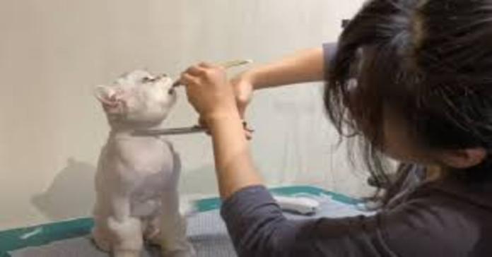 gatto contento mentre la padrona gli taglia il pelo