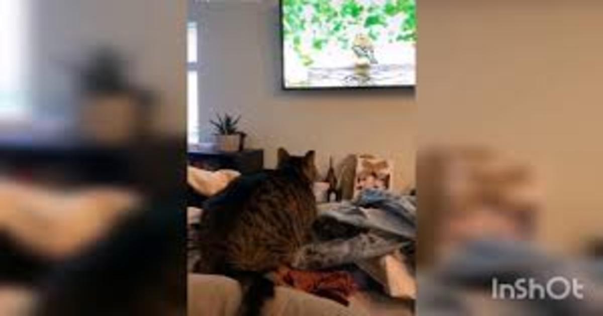 Gatto si arrabbia perché vede un uccello alla tv