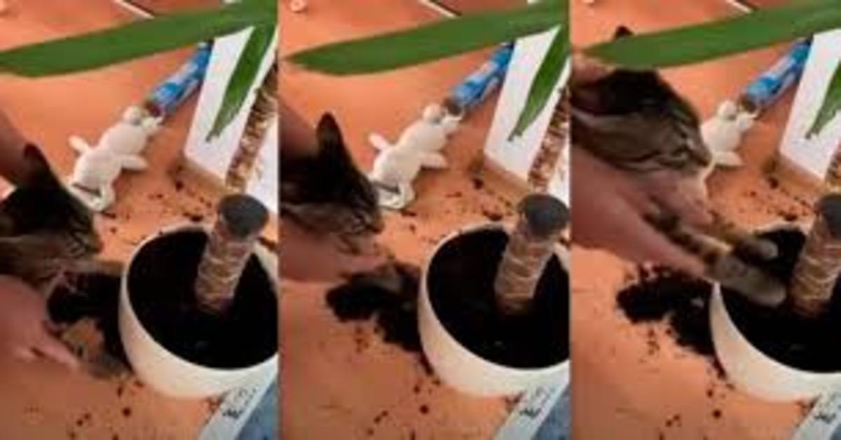 castigo per gatto grigio che ha rovesciato terra di un vaso, tre foto