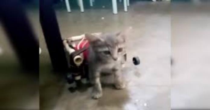 gattina con sedia a rotelle