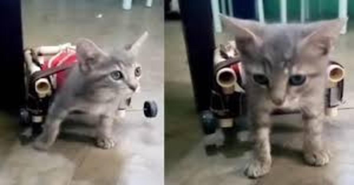 gatto disabile cammina grazie a sedia a rotelle