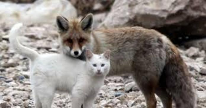 gatto e volpe amici per la pelle