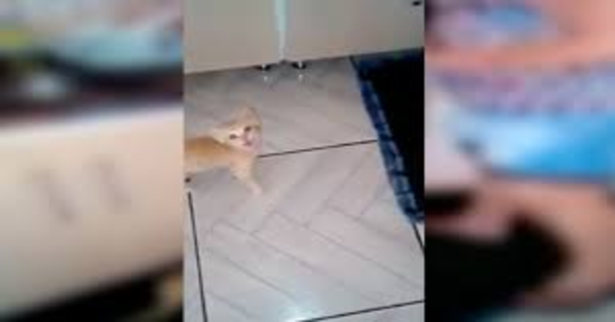 gattino chiede cibo