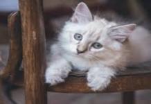 gatto bianco su una sedia
