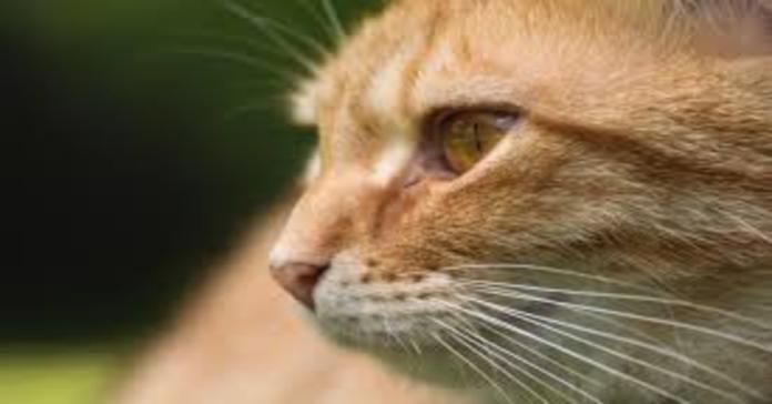 gatto rosso primo piano