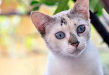 gatto con gli occhi blu