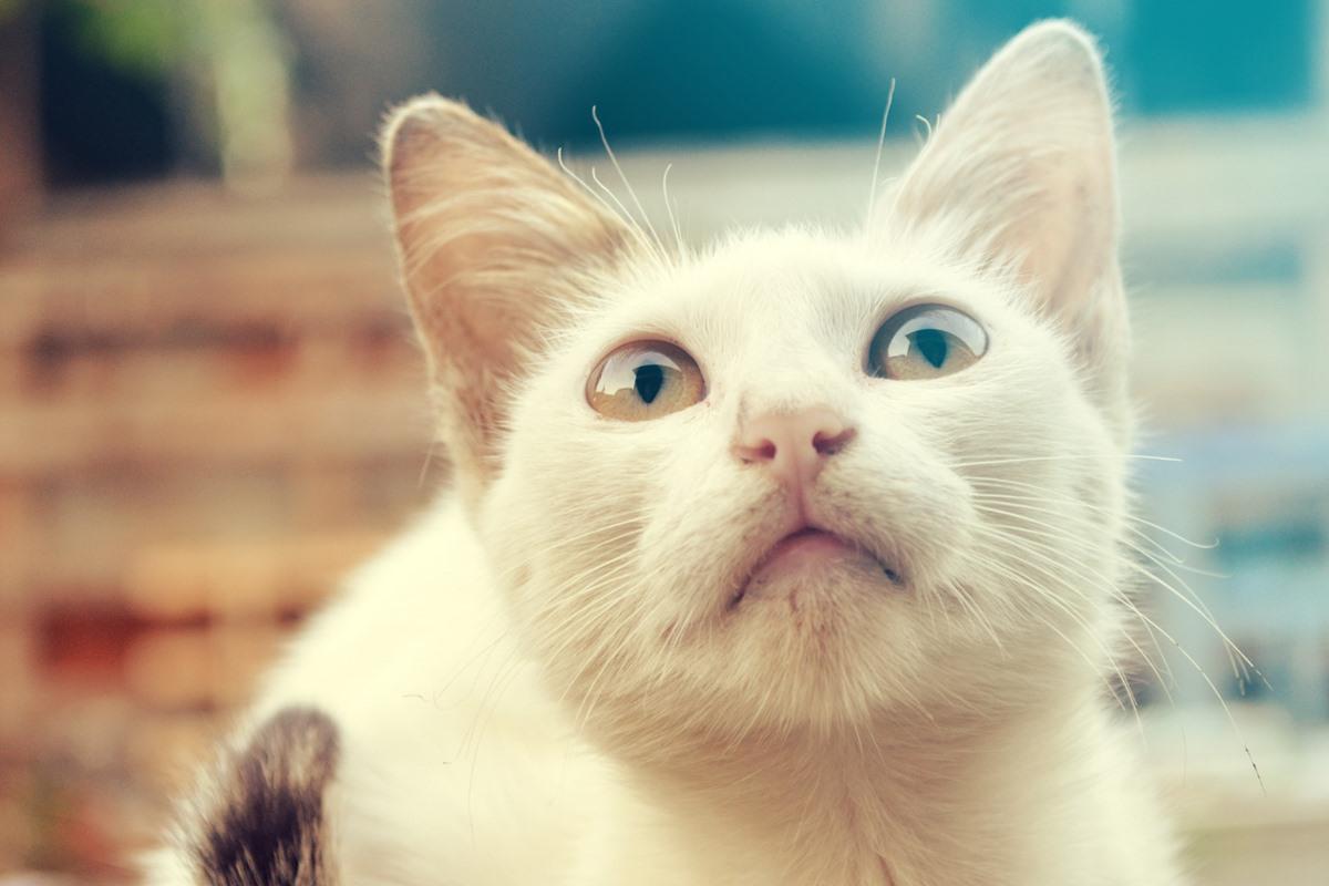 gatto con gli occhi di due colori diversi