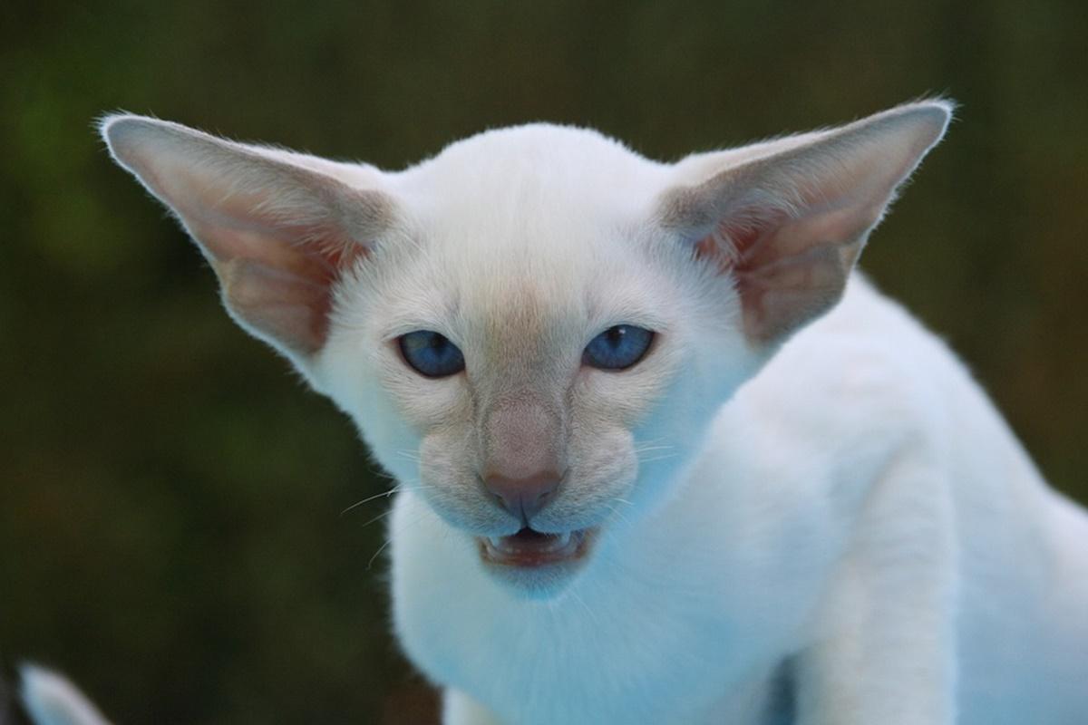 gatto bianco con le orecchie grandi