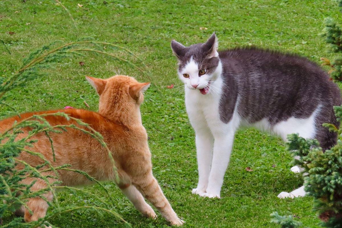 gatti che combattono