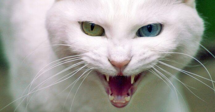 gatto bianco che ringhia e soffia