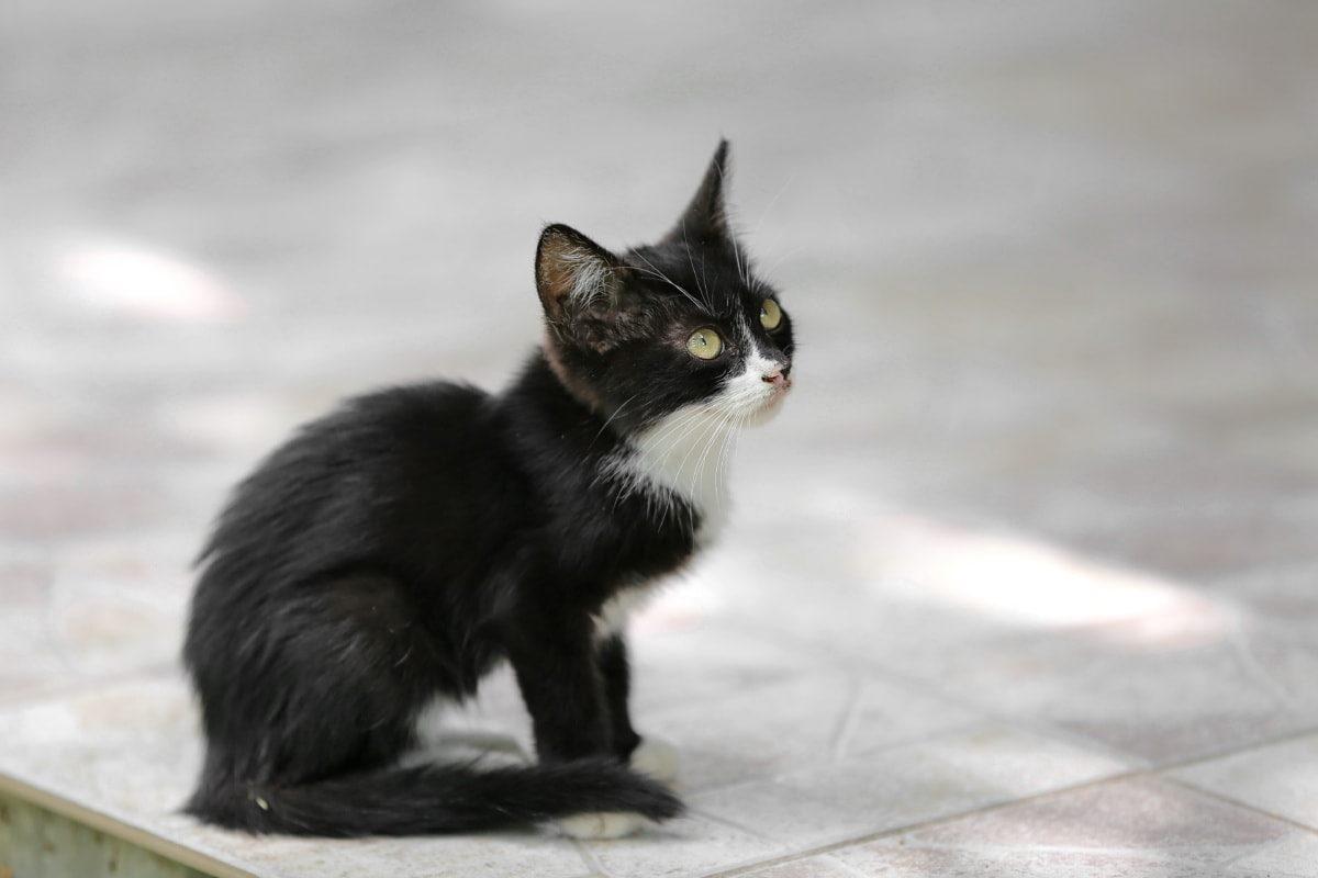 gattino bianco e nero