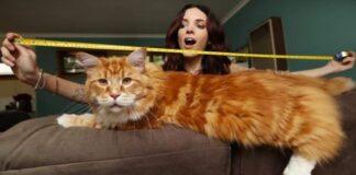 gatto più grande del mondo