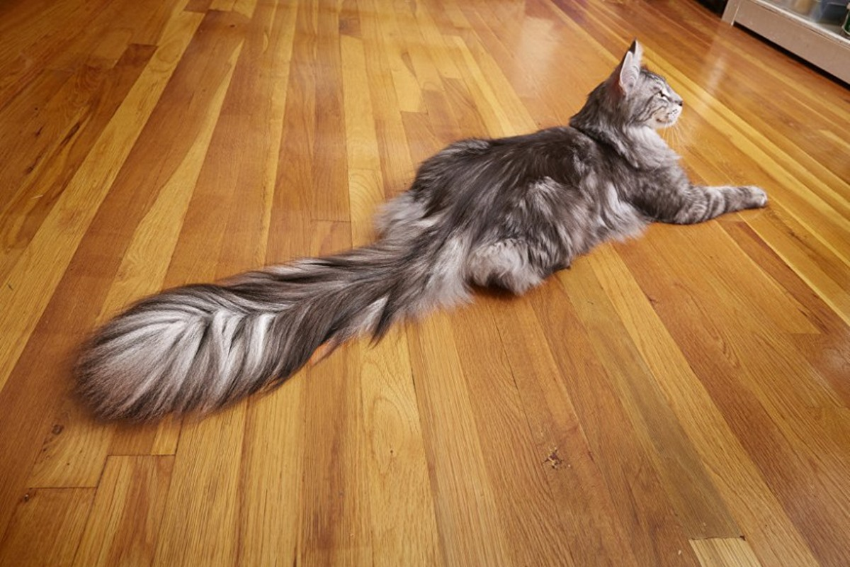 cygnus gatto con la coda più lunga del mondo
