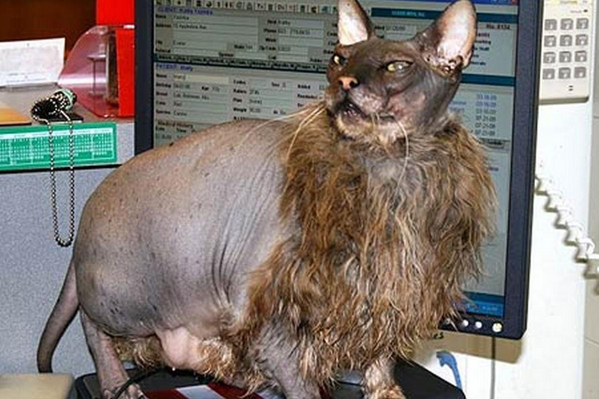 ugly gatto più brutto del mondo